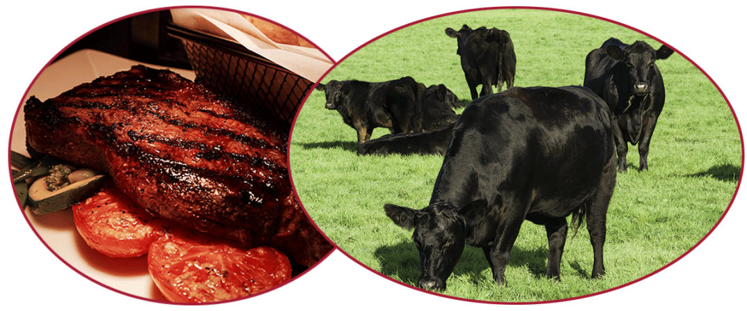 Aberdeen Angus cattle and beef