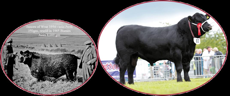 Aberdeen Angus cattle